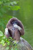 Mono gibón — Foto de Stock