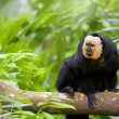 Stock Photo: White-faced Saki Monkey