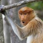 Proboscis monkey — Stock Photo #32453841