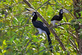 Oriental Pied Hornbill — Stock Photo