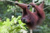 Borneo Orangutan — Stock Photo