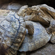 Burmese land tortoises — Stock Photo