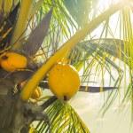 Coconut Fruits — Stock Photo