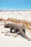 Komodo dragon — Stockfoto