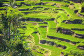 Rice Terrace — Foto Stock