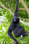 Siamang Gibbon — Photo