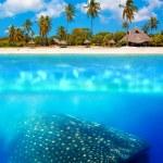 Whale shark below — Stock Photo