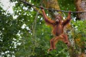 Borneo Orangutan — Stock Photo