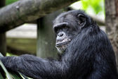 Common Chimpanzee — Stock Photo