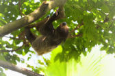 Two-toed Sloth — Stockfoto