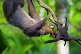 Two-toed Sloth and flying fox — Stock Photo