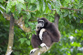 Gibbon Monkey — Stock Photo