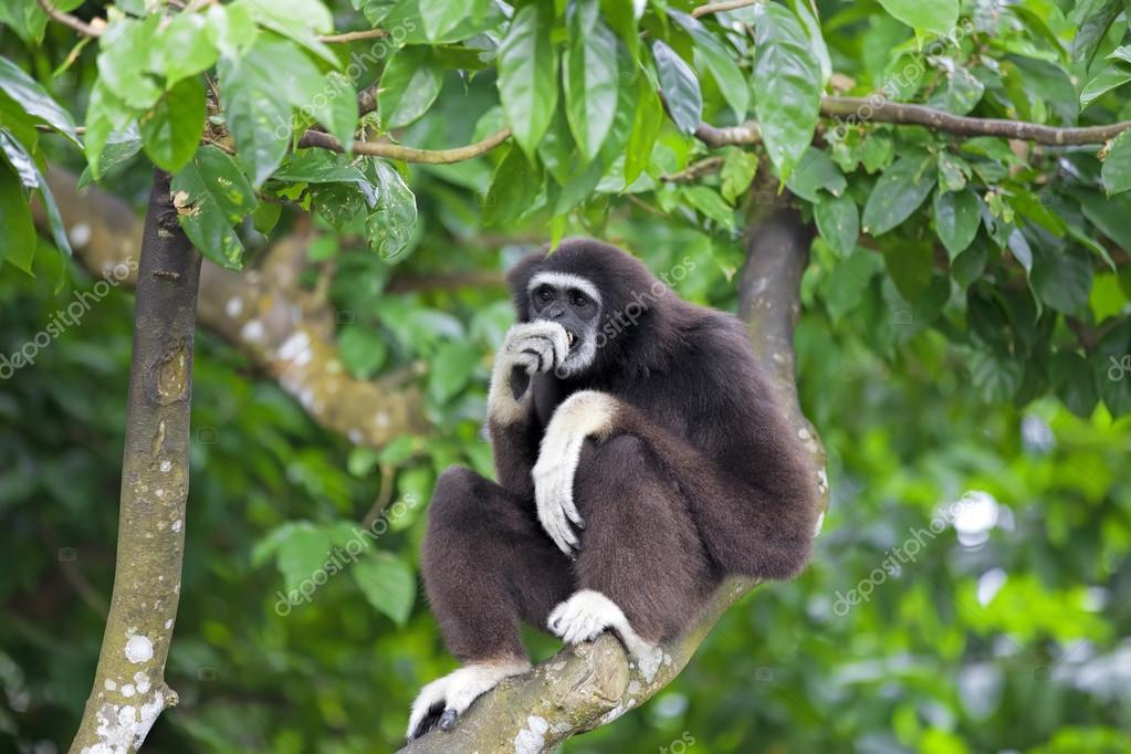 Gibbon Monkey Pictures Gibbon Monkey in Kota Kinabalu