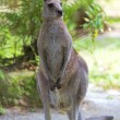 Eastern Grey Kangaroo — Stock Photo