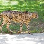 Wild Cheetah — Stock Photo