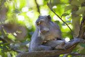 Macaco dalla coda lunga — Foto Stock