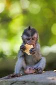 Dlouho ocasem makak opice — Stock fotografie