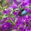 Blue Swallowtail Butterfly — Stock Photo #49032945