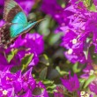 Blue Swallowtail Butterfly — Stock Photo #49032981