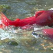 Salmon  spawning — Stock Photo