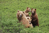 Three cub and bear — Stock Photo