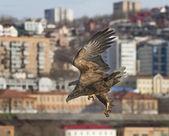 在小镇的海鹰 — 图库照片