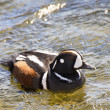Stock Photo: Duck harlequin