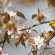 White-eye bird on blooming cherry on light blue background — Stock Photo