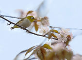 White-eye bird on a blossoming cherry — Stock Photo