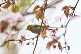 White-eye bird on blooming cherry — Stock Photo