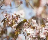 Brilvogels vogel drinken nectar op bloeiende kers op licht blauw — Stockfoto