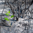Burned-out forest and green sprout — Stock Photo