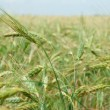Field of young green wheat — Stock Photo