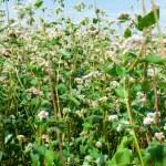 Flowering buckwheat — Stock Photo #12020928
