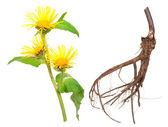 Medicinal plant. Elecampane (Inula helenium) — Stock fotografie