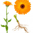 Medicinal plant. Calendula — Stock Photo #12284825