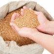 Wheat grain in hands — Stock Photo