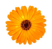 Flower of calendula — Stock Photo