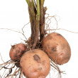 Foto Stock: Potato root