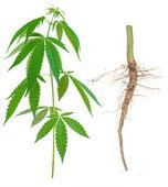 Cannabis med en rot — Stockfoto