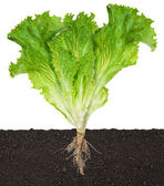 Lettuce seedling in soil — Stock Photo