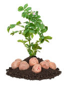 Potato plants — Stock Photo