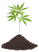 Cannabis plant in soil — Stock Photo