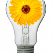 Calendula flower in lamp - Stock Photo
