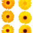 Set of calendula flowers - Stock Photo