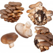 Oyster mushrooms - Foto Stock