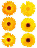 Set of calendula flowers — Stock Photo
