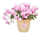 Flower of blooming pink cyclamen in pot — Stock Photo