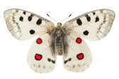 Apollo butterfly (Parnassius apollo) — 图库照片