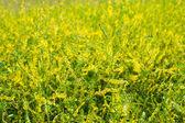 Medicinal plant: Melilotus officinalis (Yellow Sweet Clover) — Stock Photo